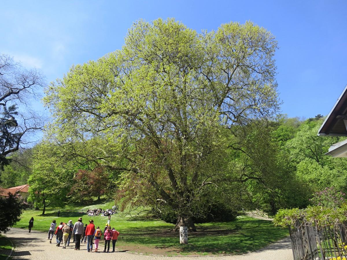 prazske stromy