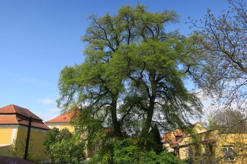 Památná lípy u kostela ve Vinoři patří k nejkrásnějším lípám v Praze.