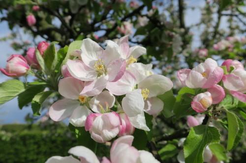 V zahradě trojského zámku návštěvníci obdivovali rozkvetlé jabloně ve štěpnici.